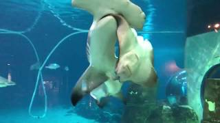 Hammerhead shark attacks sting ray at Adventure aquarium.