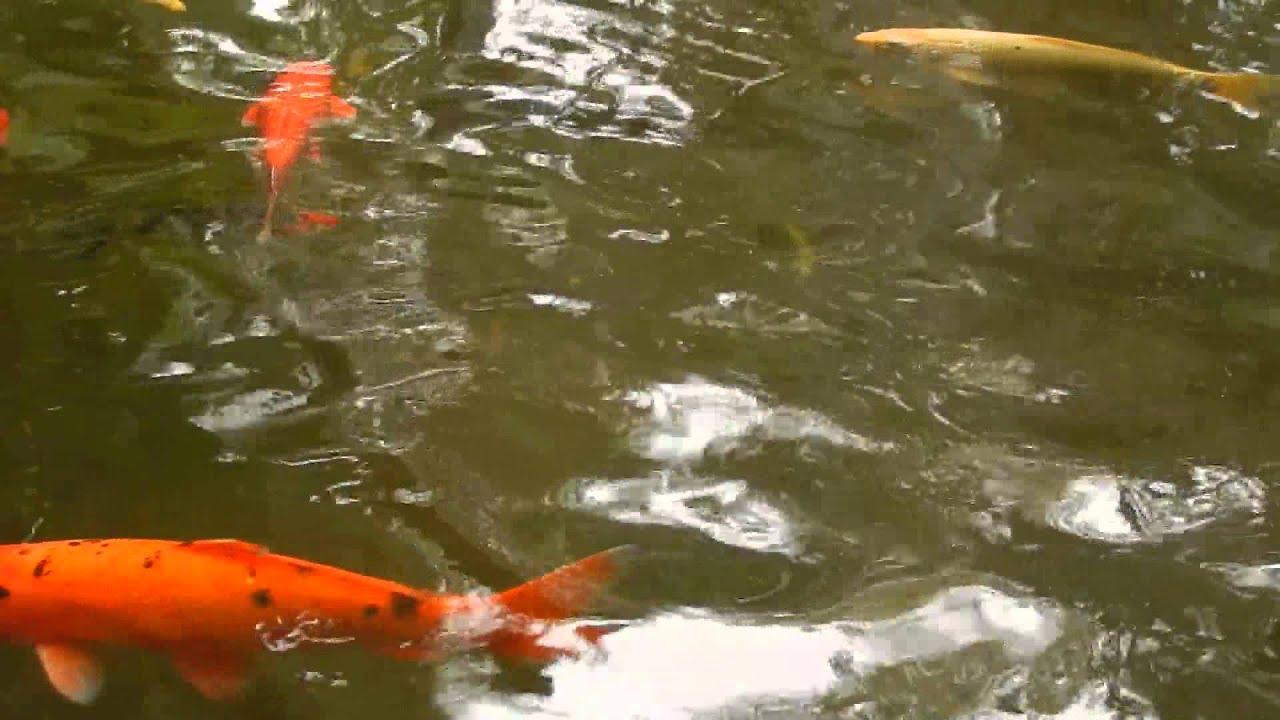 Koi Pond - Marie Selby Botanical Gardens, Sarasota Florida - YouTube