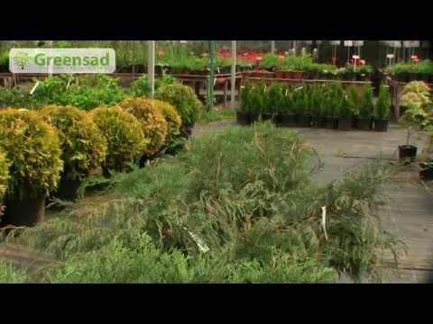 Создание живой изгороди из вечнозеленых растений.
