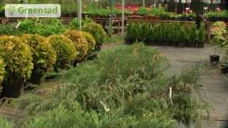 видео Пересадка вечнозеленых растений