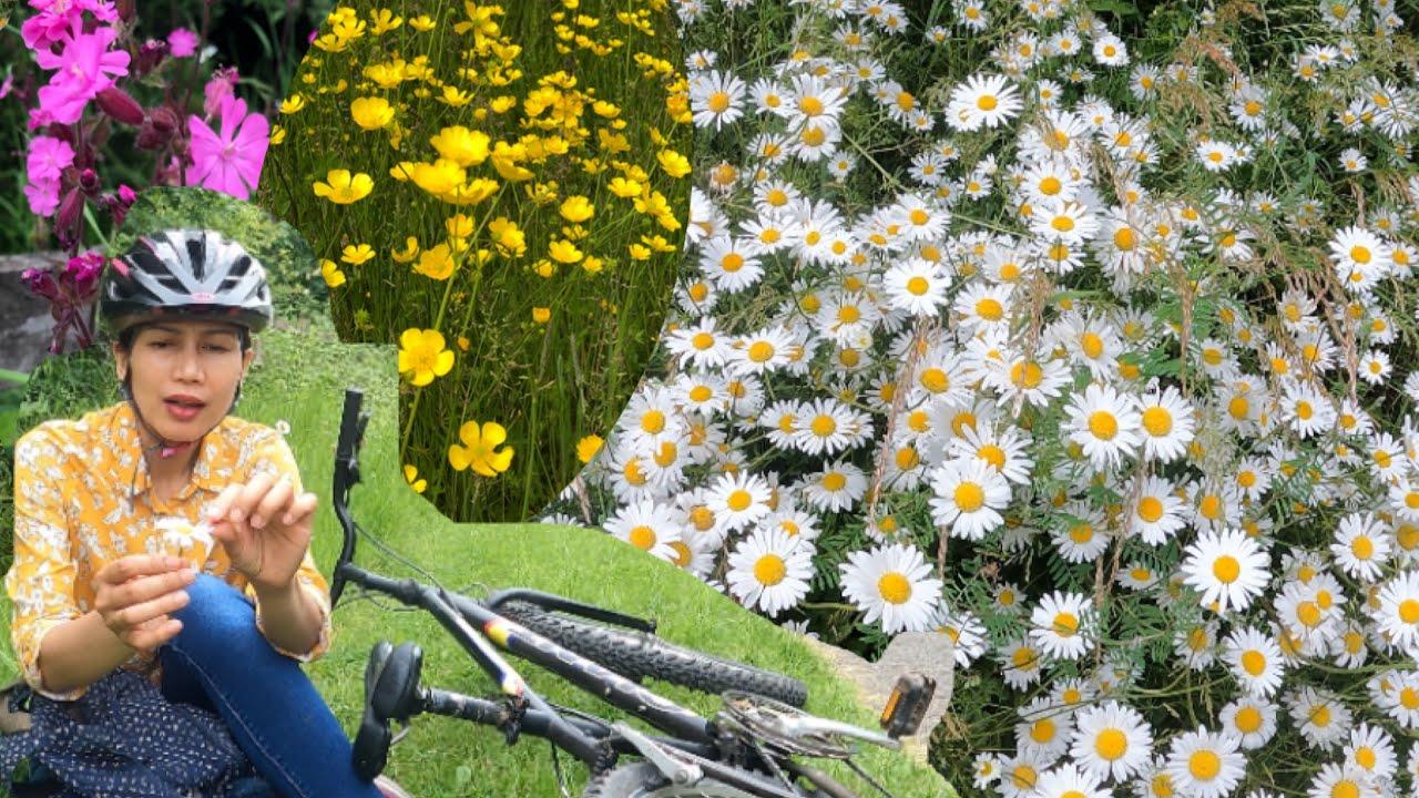 เข้าป่าคนเดียว ไปหาเดซี่วิธีทำนายรักดอกไม้ป่าสวยจับใจในฤดูร้อนอังกฤษ
