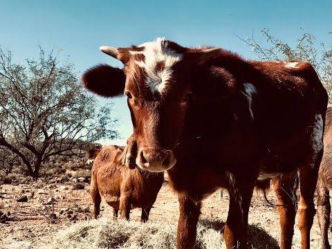 Nandi the Buffalo Meets Chevalier ✶✶ I GOT A NEW PET! ✶✶