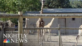 After The Ashes: Saving Safari West (Part 6) | NBC Nightly News