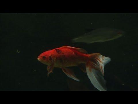 Un refuge pour poissons rouges abandonnés à l\'Aquarium de Paris