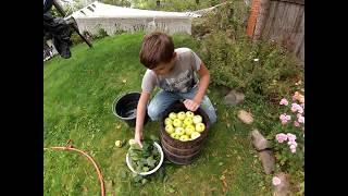 Мочёные яблоки  Старорусский рецепт.