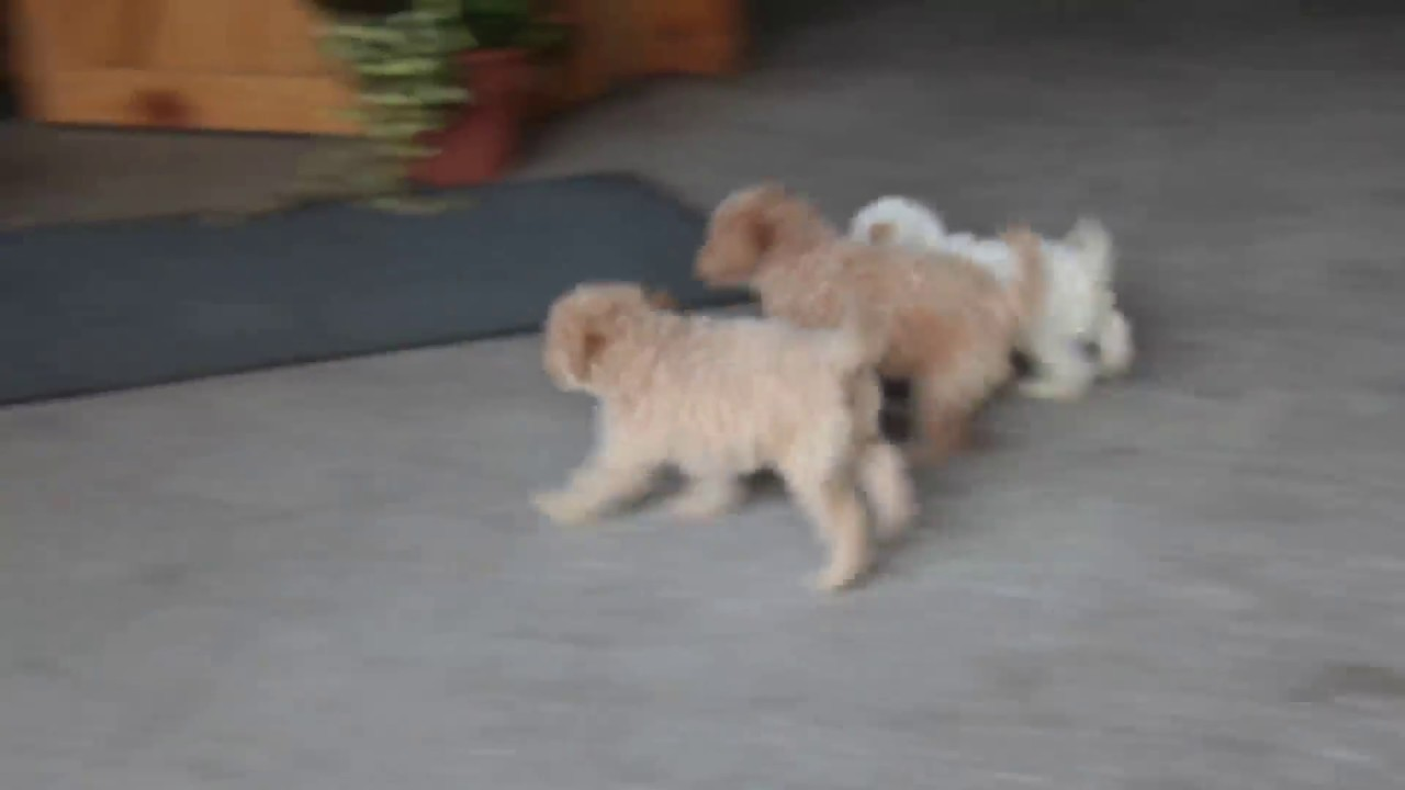 F1B Cockapoo Puppies For Sale