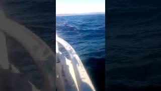 видео Менёк – морской налим