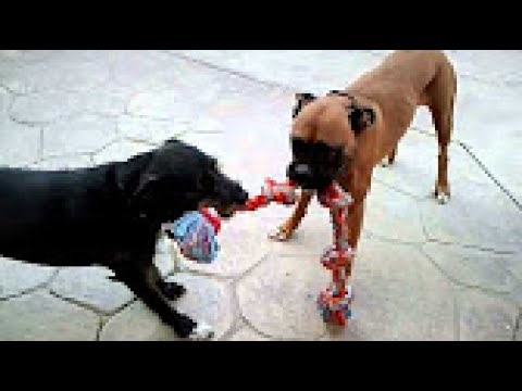 Funny Dog Playing Tug of War - Funny Dogs Compilation 2017