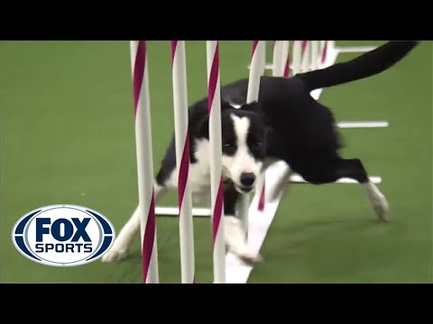 Thumbnail: Watch Border Collie, Tex, Win 2015 Masters Agility Championship | FOX SPORTS