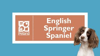 English Springer Spaniel Fun Facts