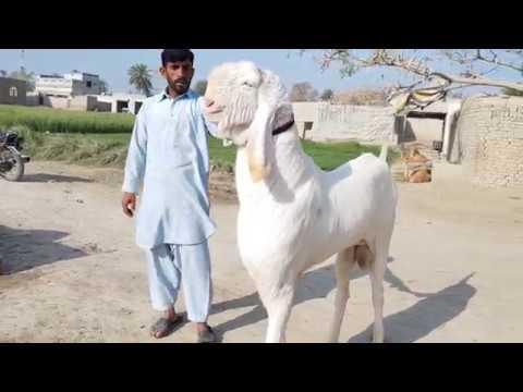 Download Rajan Puri bakra 03496789033)(2019)(3)(18)Mohammad Puri bakra goat farm Dera Ghazi Khan Gulabi bakra