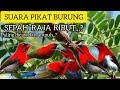 Suara Pikat Burung Ribut Sepah Raja Paling Dicari Dan Ampuh Banget  Mp3 - Mp4 Download