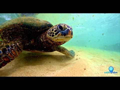 Your Earth Is Blue: Green Sea Turtles