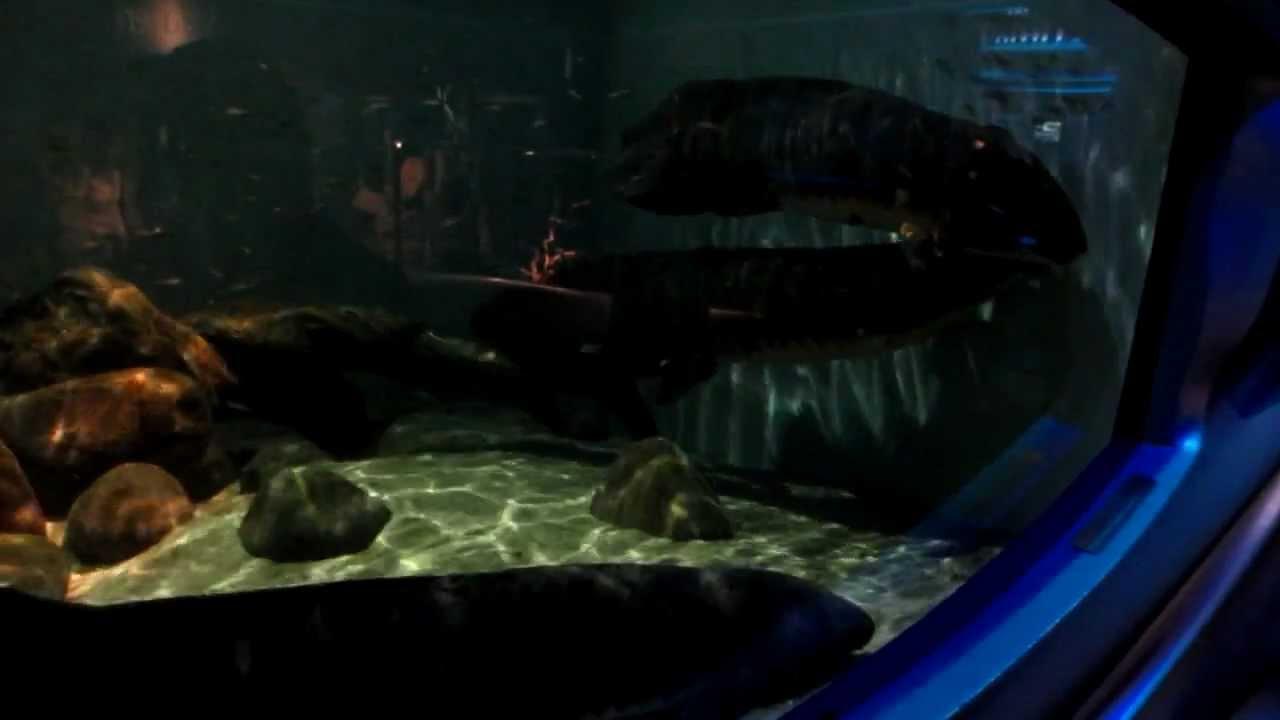 Australian Lungfish Steinhart Aquarium California Academy