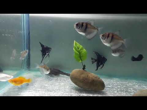 Black Skirt Tetra Fish / Black Widow Basic Information