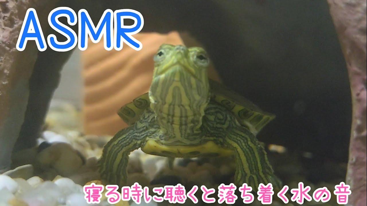 【ASMR】睡眠用(にしては短いかも?)子亀が隠れ家天井の空気溜まりから息継ぎをしたりします。 小魚も確認。 20200711