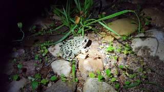 Ночная охота на лягушек в саду. Встреча с питомцем