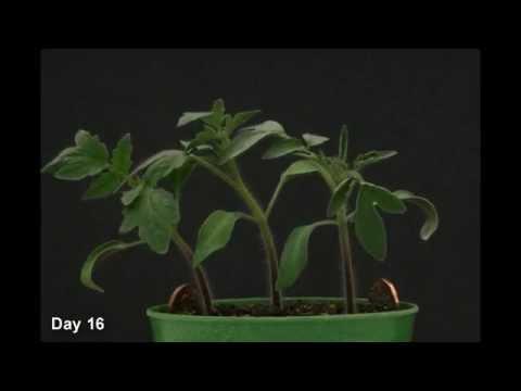 Quá trình phát triển của cây cà chua trong 22 ngày đầu