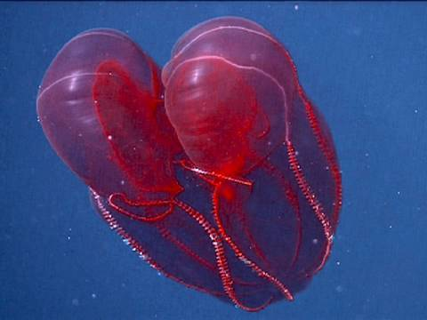 Bloodybelly Comb Jelly Youtube