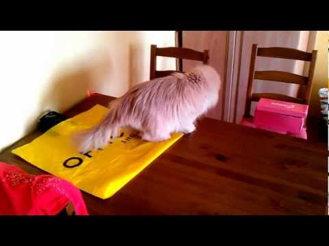 Sophie the 14 year old persian cat chase the red dot