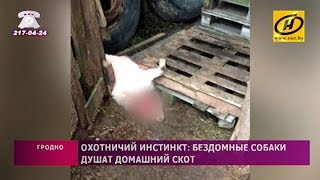 Стая бездомных собак душит домашний скот на окраинах Гродно