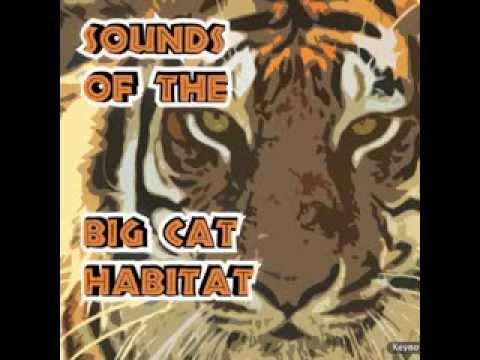 Sounds of the Big Cat Habitat - Tutapokea