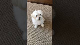 Updated Max the Maltese tricks 32020