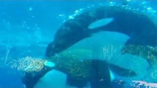 KILLER WHALE ORCA MOTHER Kalina & BABY Malia AT SEAWORLD ORLANDO FLORIDA PART 1 OF 4 SEA WORLD SHAMU