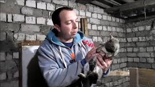 Асцит (водянка) у кроликов признаки, симптомы, способ лечения! // из Города в Деревню!