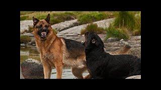 ドイツのシェパードは、ドイツ発の中型から大型の作業犬の品種です。こ...