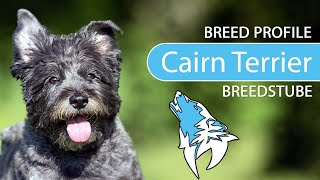 Cairn Terrier [2020] Breed, Temperament & Training