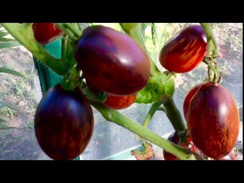 Красивейшие томаты в начале сентября.