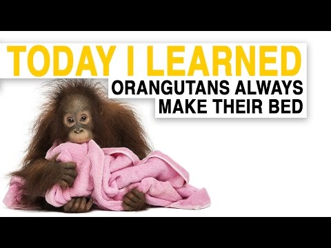 TIL: Orangutans Build Comfy Nests to Sleep in | Today I Learned