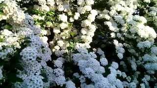 Красивый цветущий куст =)
