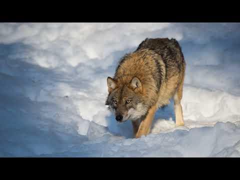 Картинка животное. Зима, хищник, природа, снег, волк. Tierbild. Winter, Raubtier, Natur, Schnee