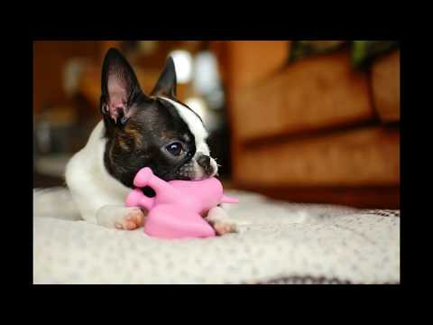 Boston Terrier   Top 10 Interesting Facts