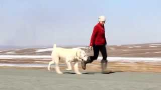 Движения САО / central asian shepherd dog motion