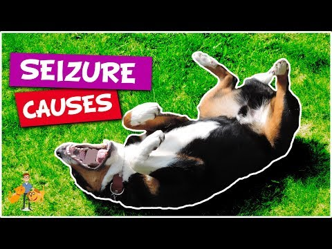 What Causes Seizures in Dogs (top 5 causes of dog seizures)