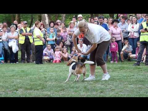 Beni beagle dog dancing bemutatója a kazincbarckai majálison