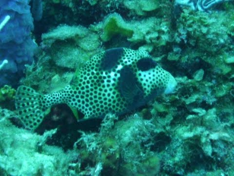 Lactophrys Bicaudalis ( Spotted Trunkfish )