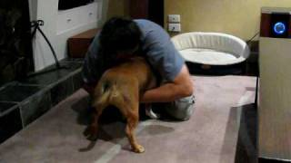 Staffordshire Bull Terrier Play Fight