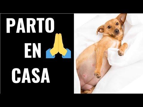 Como Ayudar a Parir a una Perrita en Casa - Aprende como ayudar a parir a tu Perrita - Jose Arca
