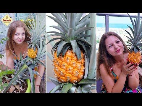 Ананас. Как вырастить ананас. Ананас созрел. Как растёт ананас. Лайфхак. Часть 3. Моя Dolce Vita