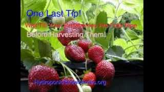 How To Grow Hydroponic Strawberries That Will Amaze Your Friend And Family