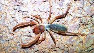 Camel Spider At The Grand Canyon