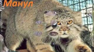 8 самых интересных диких кошек