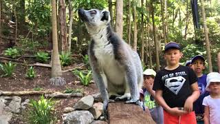 Lemurs of Lost Valley | Currumbin Wildlife Sanctuary