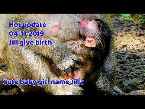 surprise-day@04-11-19-!-congrats-monkey-jill-give-birth-baby-girl-|-newborn-monkey-name-jilla