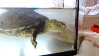 Черепаха болотная  кормление