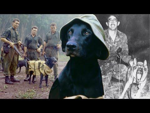 Отвага, предательство и недоедание. Собаки-солдаты во Вьетнамской войне.